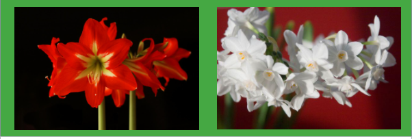 Dunwoody Woman's Club Holiday Flower Bulb Fundraiser